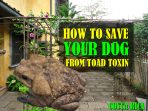 How to save your dog in Costa Rica from toad toxin