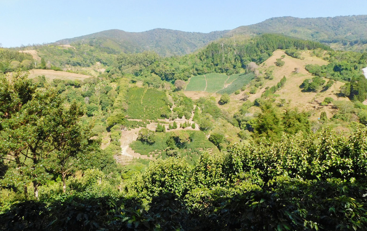Affordable 6 Acre producing Sarchi coffee farm with spring